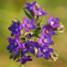 Buglosse officinale