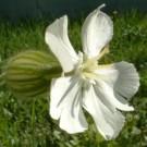 Compagnon blanc